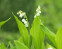 Lily of valley.jpg